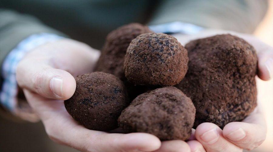 Black truffles truffle hunting La Morra