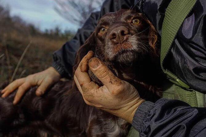 Truffle hunting dog in barbaresco