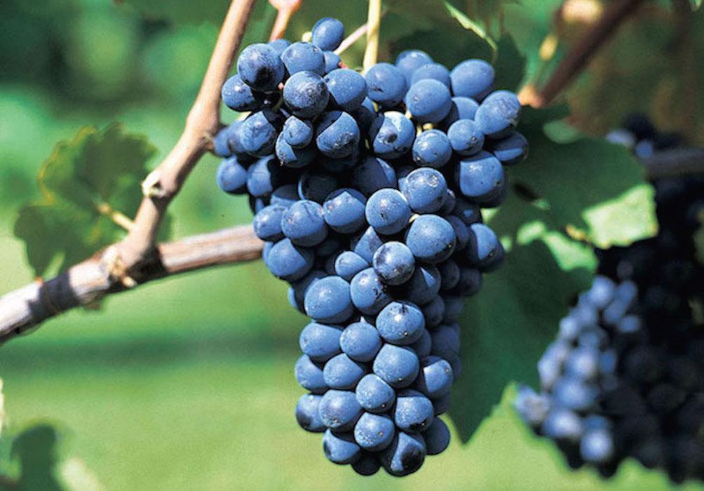 Violet Barbera grapes vineyard